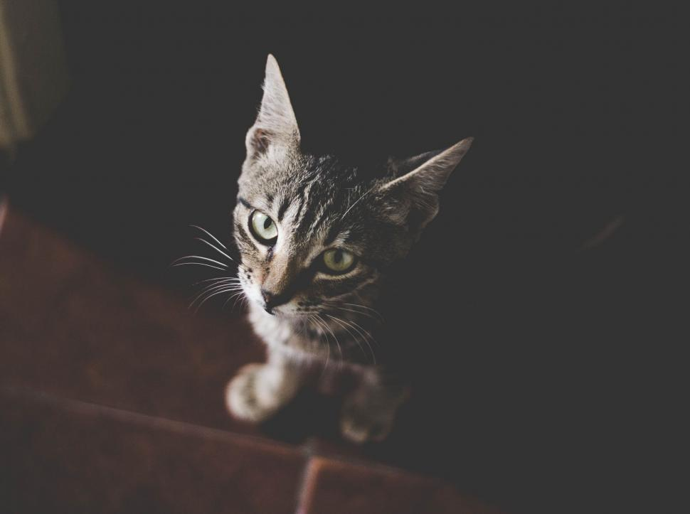Download Free Stock Photo of cat feline domestic cat animal domestic animal tabby pet fur kitten egyptian cat domestic mammal cute whiskers kitty pets eyes furry eye looking portrait tiger cat animals hair face grey breed adorable look striped curious nose purebred