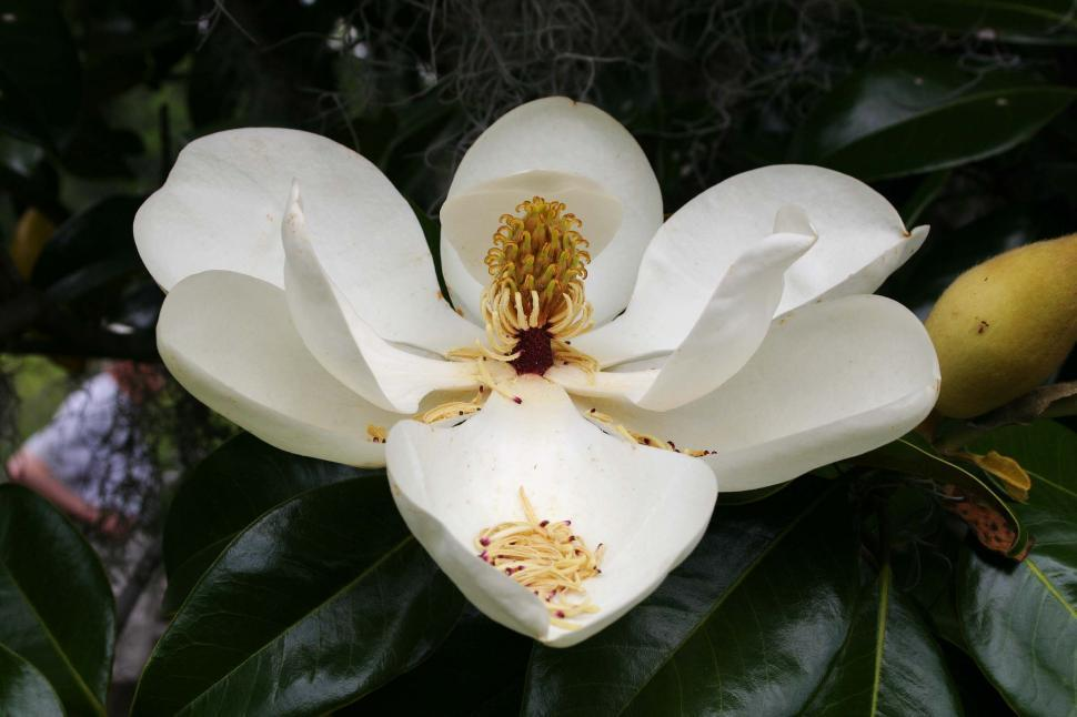 Download Free Stock HD Photo of magnolia bloom Online