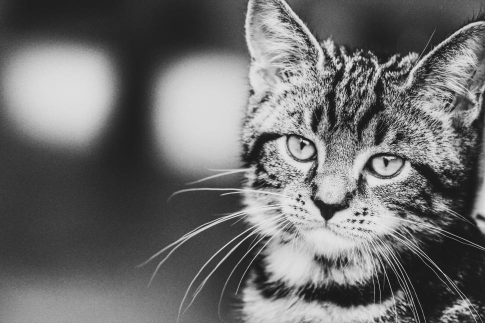 Download Free Stock Photo of cat feline animal kitten domestic cat fur kitty pet domestic animal domestic mammal tabby cute whiskers pets eyes animals eye furry looking egyptian cat portrait hair face grey tail tiger cat curiosity striped staring look sitting shorthair adorable gray cats little whisker nose