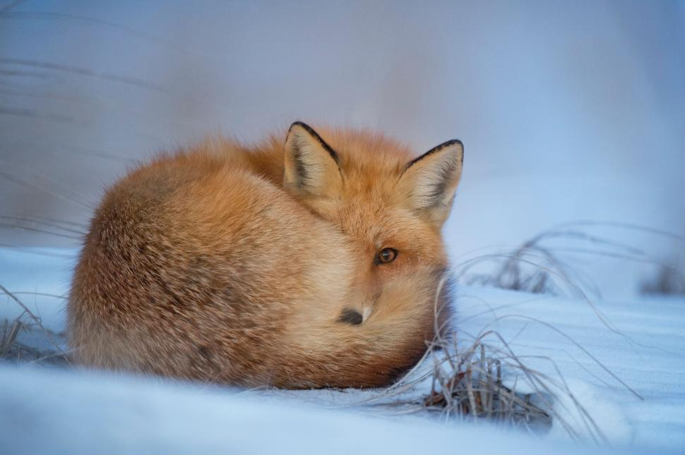 Download Free Stock Photo of Nature canine fox dhole red fox wild dog wolf mammal