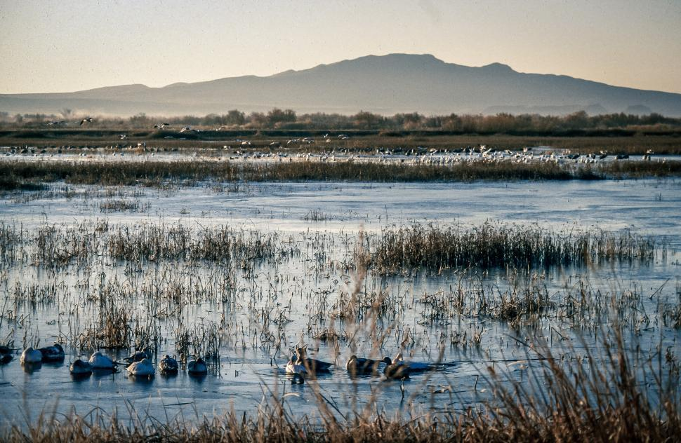 Download Free Stock HD Photo of Large group of waterfowl on the marsh Online
