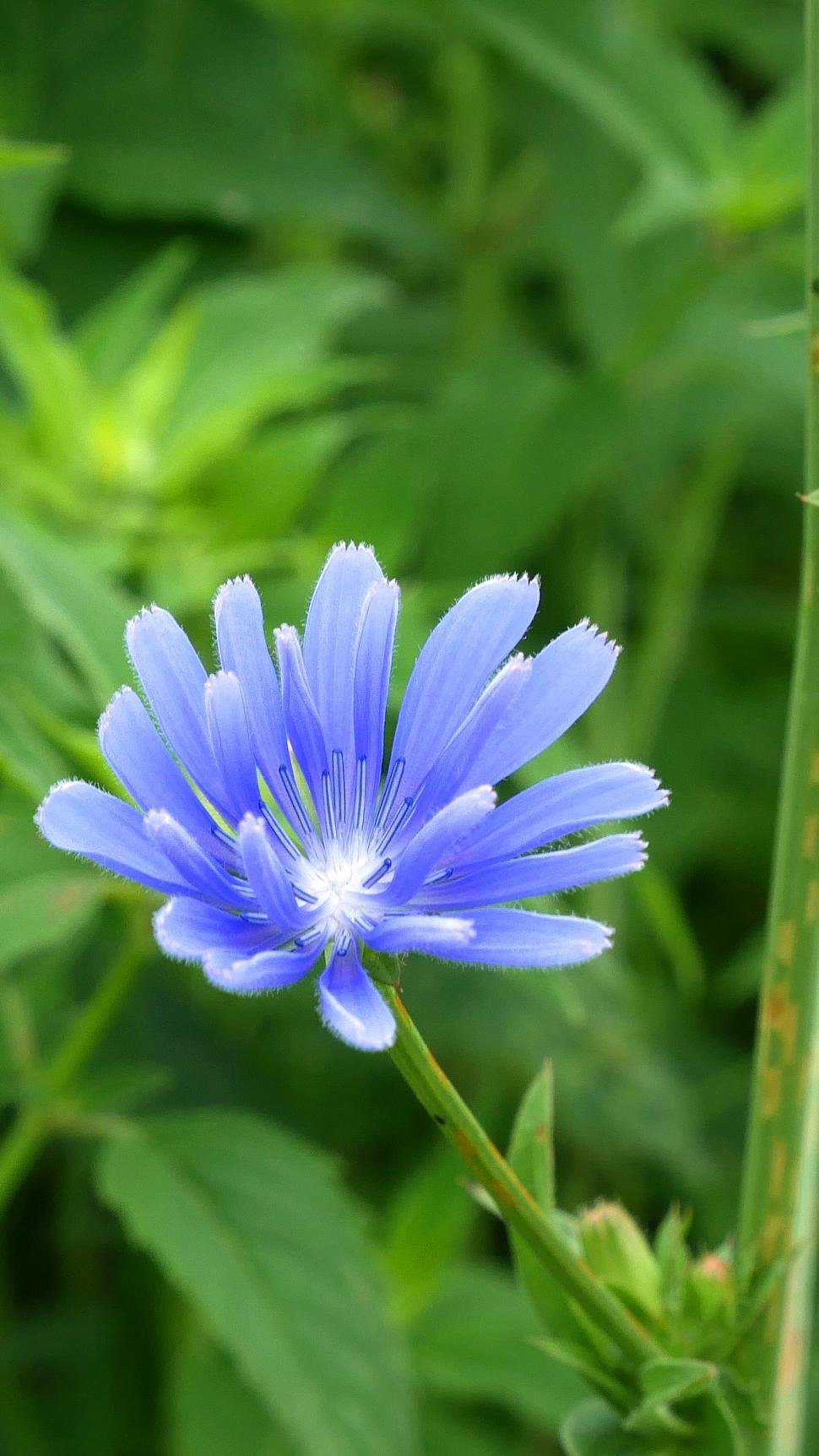 Download Free Stock Photo of Chicory Flower