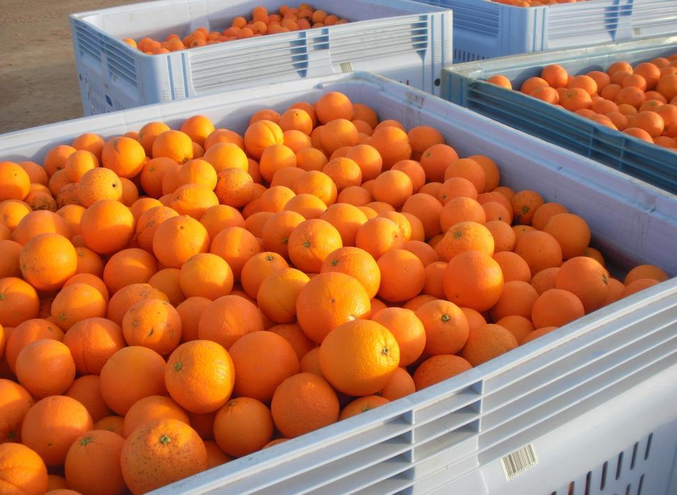 Download Free Stock Photo of Mulitple Oranges