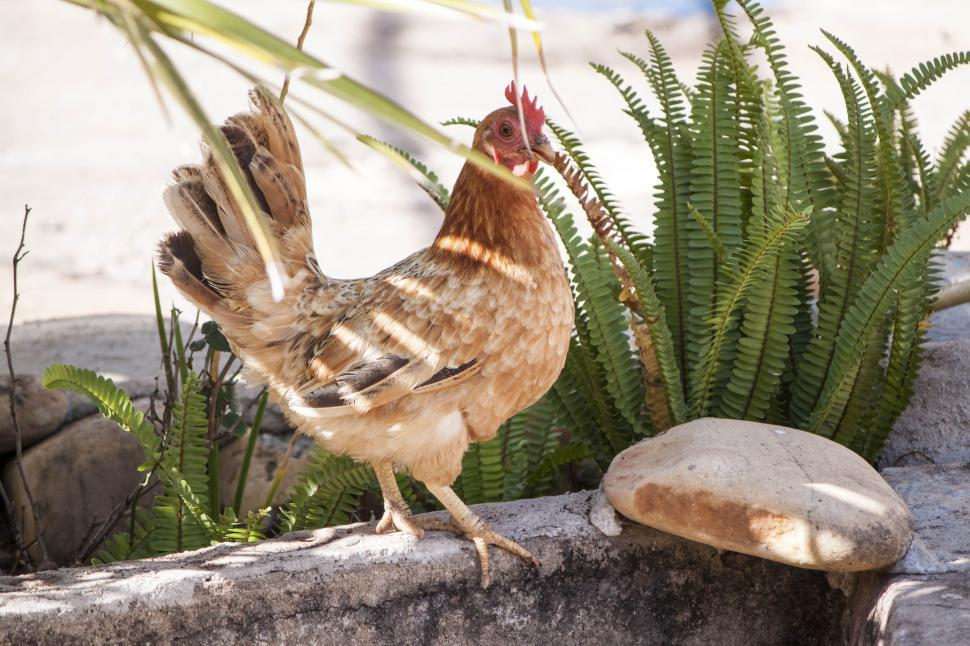 Download Free Stock HD Photo of Golden Chicken Pose Online