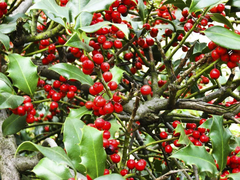 Download Free Stock HD Photo of Holly leaves and berries Online