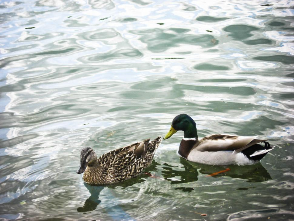 Download Free Stock HD Photo of Ducks out on the lake Online