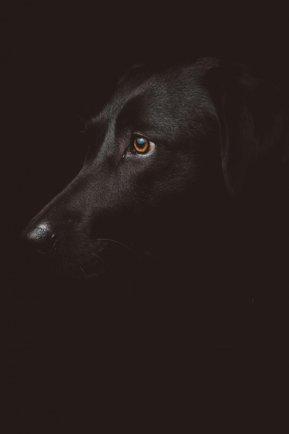 Download Free Stock Photo of retriever flat-coated retriever dog sporting dog groenendael hunting dog belgian sheepdog animal pet shepherd dog mammal cute canine