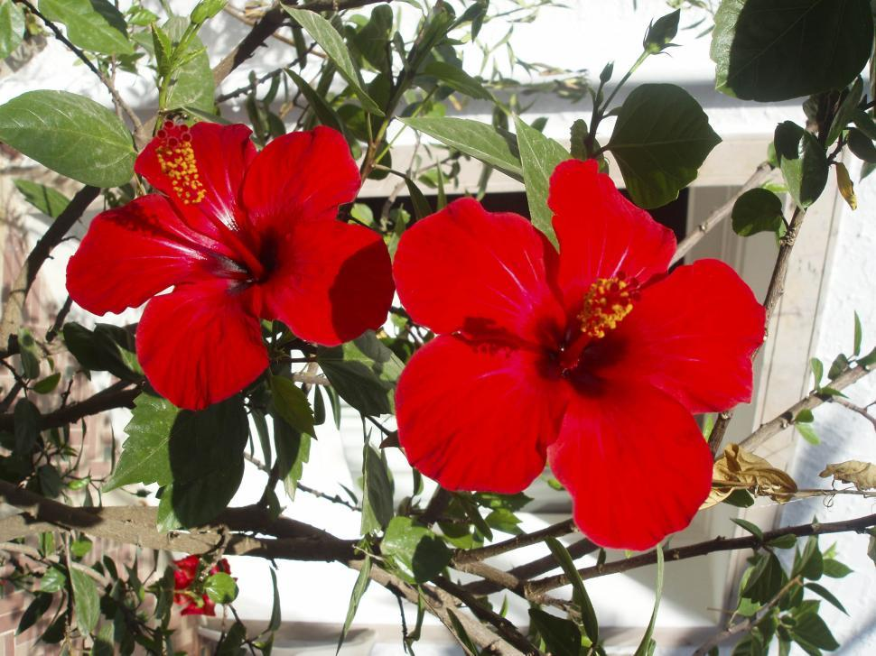 Download Free Stock Photo of Two red flowers