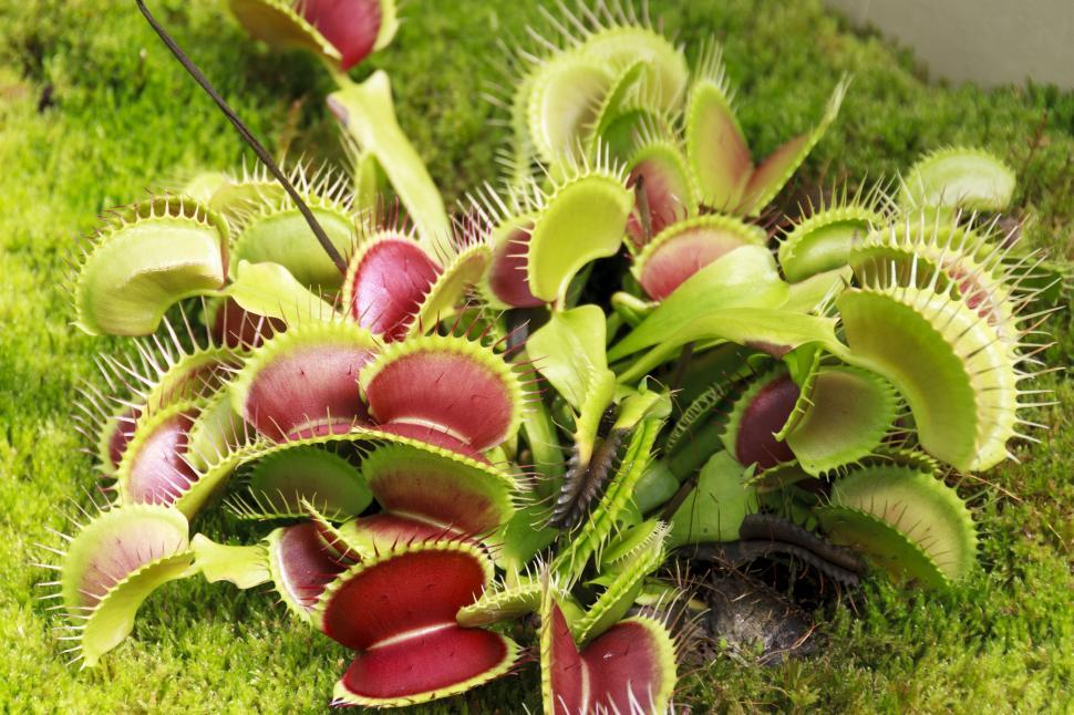 Download Free Stock HD Photo of Carnivorous Venus fly trap Online