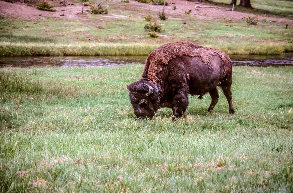 Download Free Stock HD Photo of American Bison Online