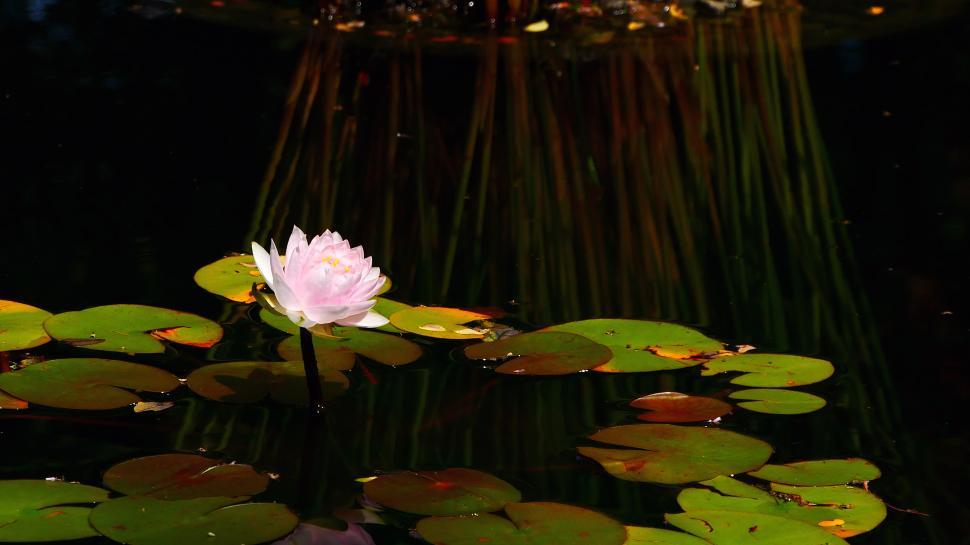 Download Free Stock Photo of Pink Water Lily in sunlight
