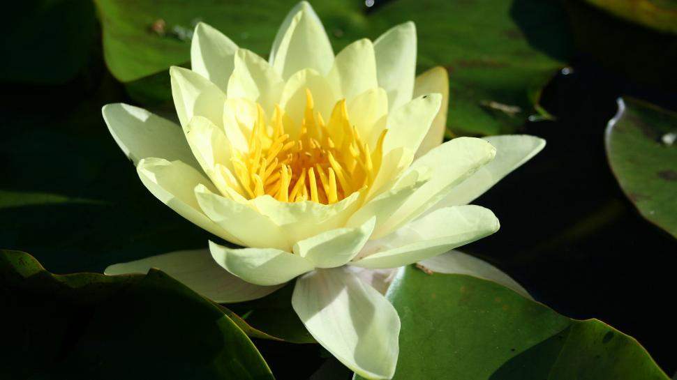 Download Free Stock Photo of Yellow Water Lily Bloom