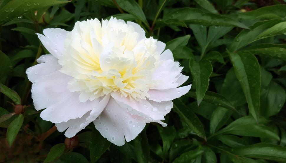 Download Free Stock HD Photo of White Peony Flower Online