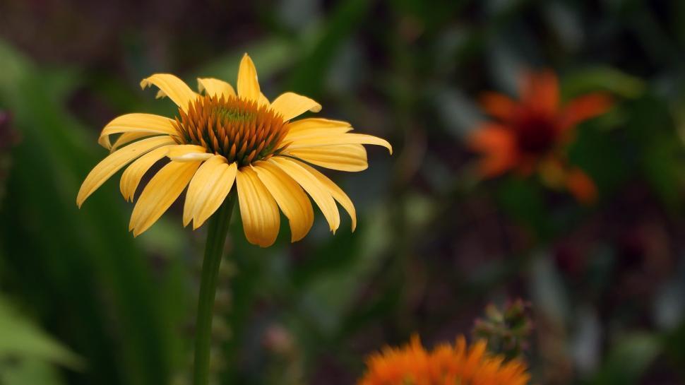Download Free Stock Photo of Yellow Coneflower
