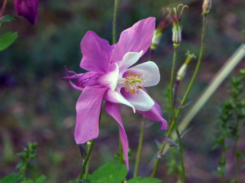 Download Free Stock HD Photo of Purple Columbine Flower Online