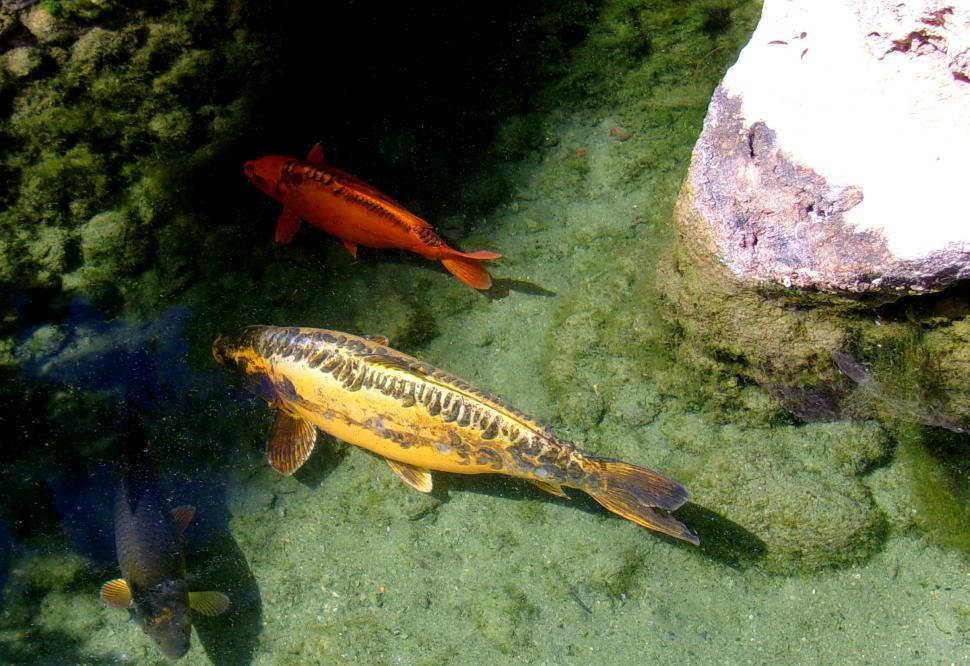 Download Free Stock HD Photo of Koi Carp Swimming in a Pond Online