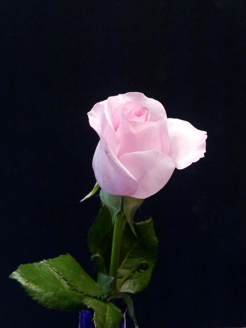 Download Free Stock HD Photo of Pink Rose - Small Bud Online