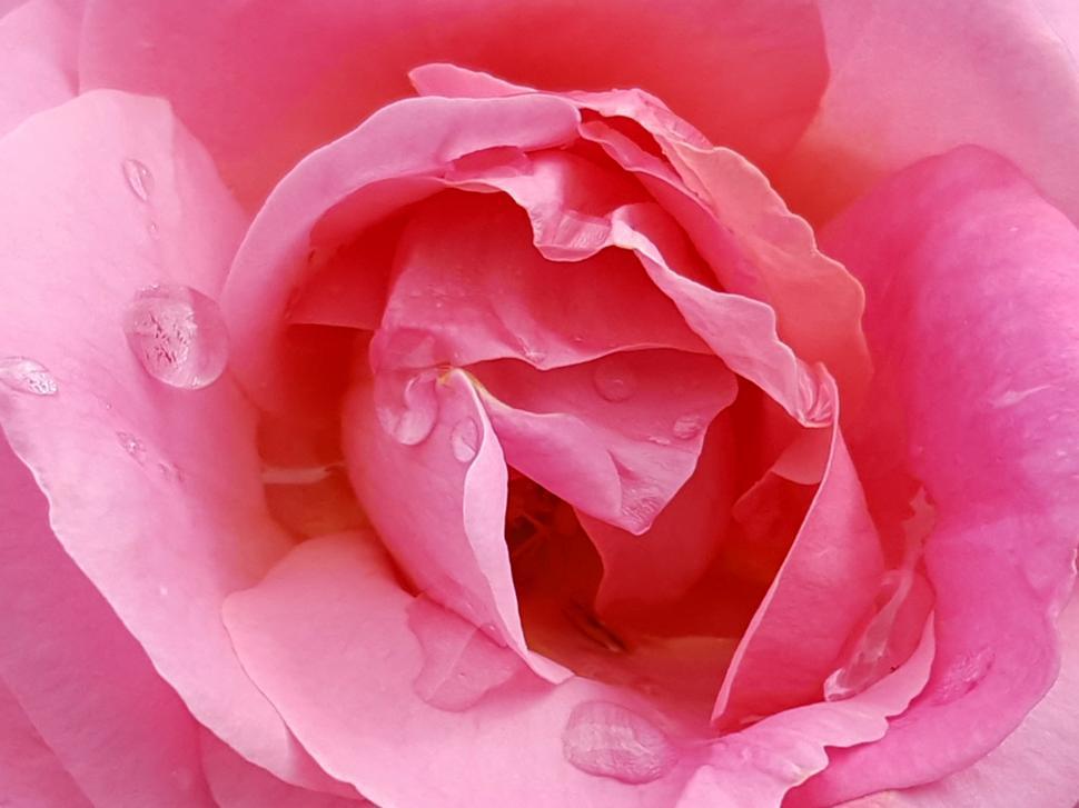 Download Free Stock Photo of Pink Rose Macro