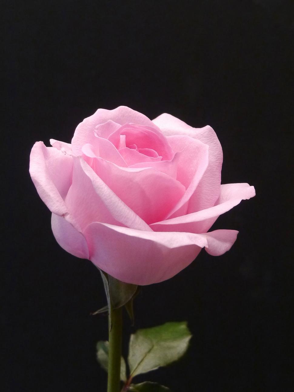 Download Free Stock Photo of Pink Rose on Black