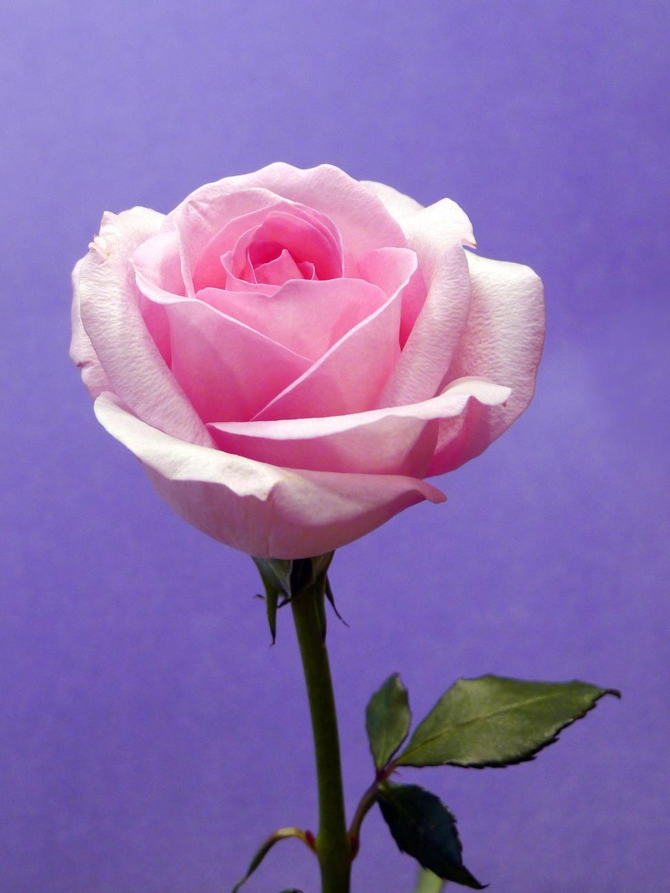 Download Free Stock HD Photo of Purple Background with Pink Rose Bloom Online