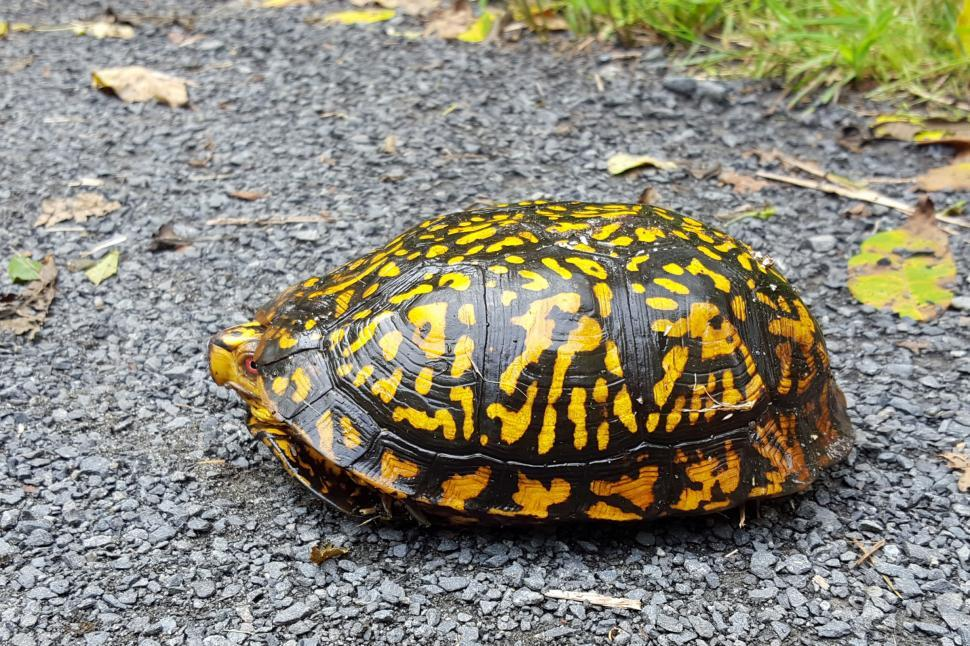 Download Free Stock Photo of Turtle peeks from shell