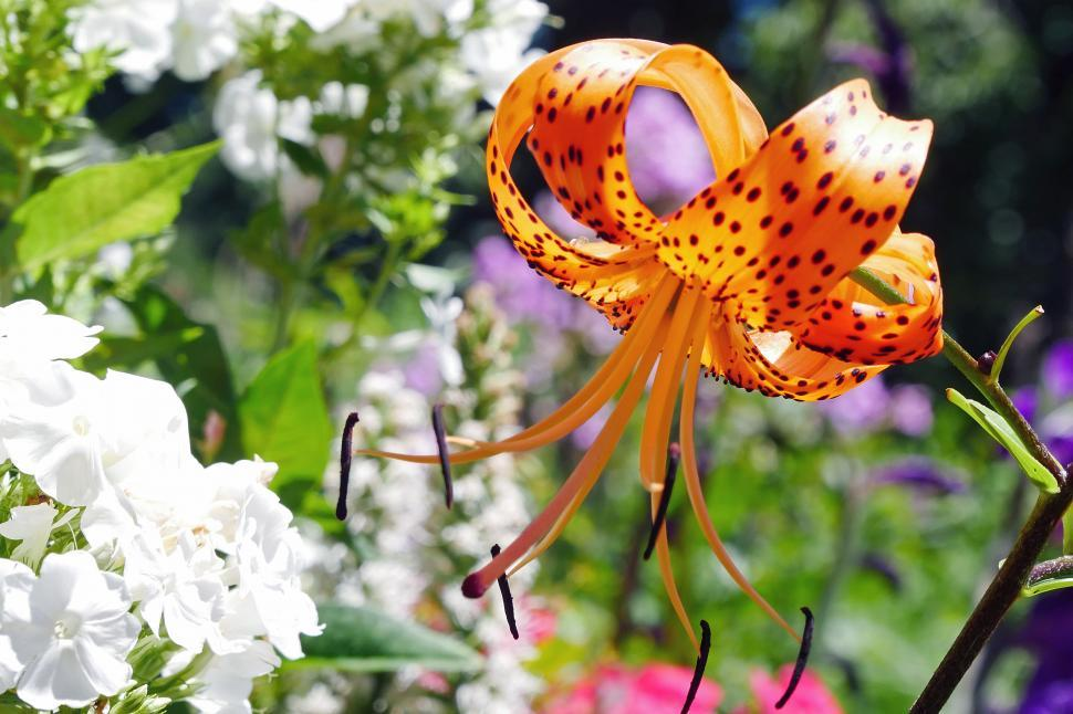 Download Free Stock HD Photo of Tiger Lily in Full Bloom Online