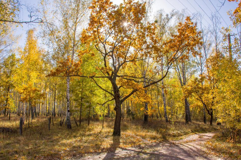 Download Free Stock HD Photo of Sunny autumn forest. Oak with yellow leaves stands in the background of the forest near the road against a blue sky and bright sun Online
