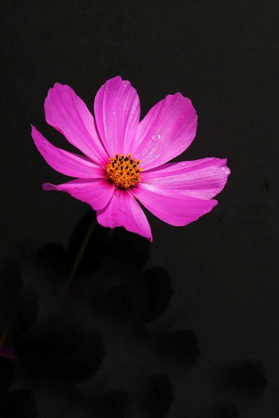 Download Free Stock Photo of Wet Cosmos Flower on Black