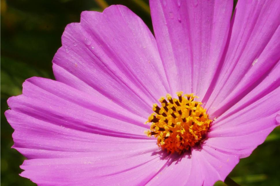 Download Free Stock Photo of Closeup of Pink Cosmos Flower