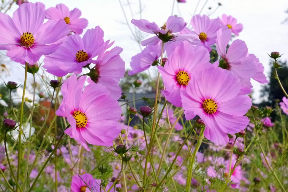 Download Free Stock Photo of Field of Pink Cosmos Flowers