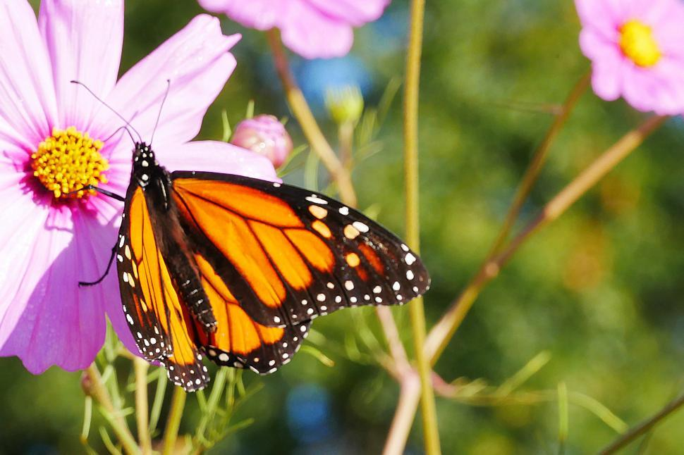 Download Free Stock Photo of Cosmos Flower and Butterfly