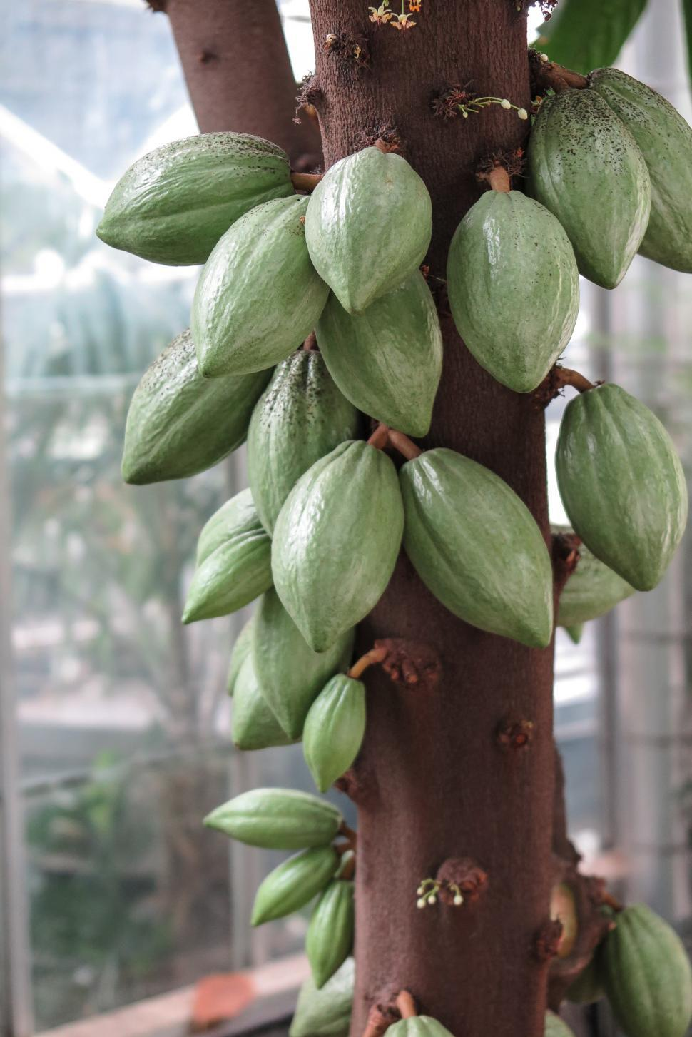 Download Free Stock Photo of Cocoa Beans