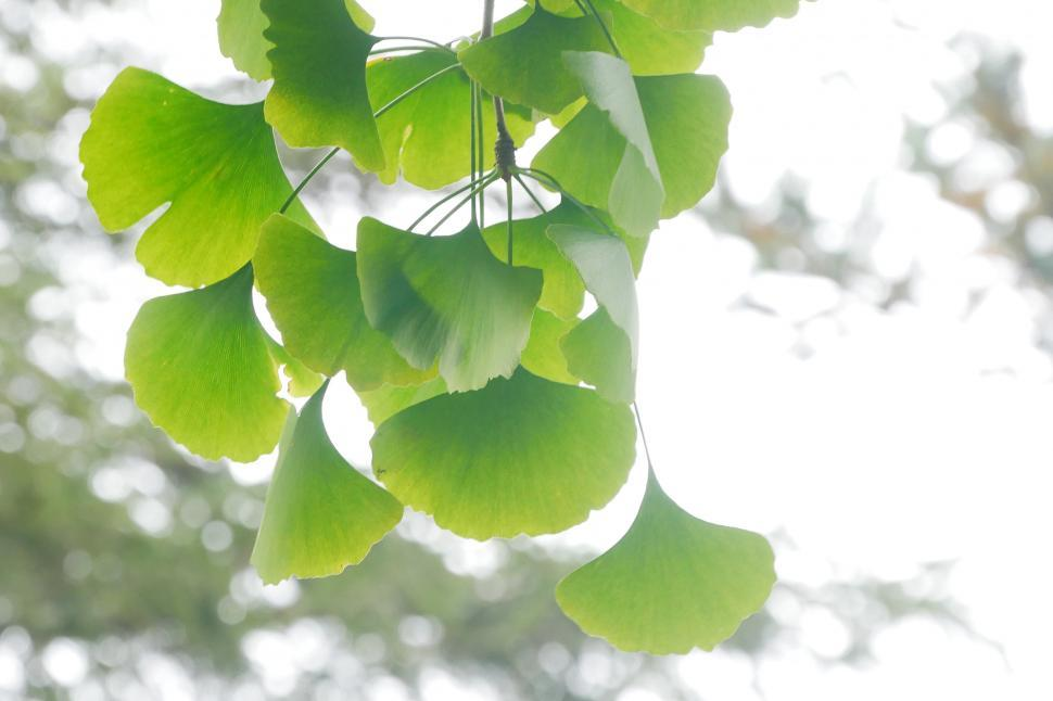 Download Free Stock HD Photo of Ginkgo Tree Leaves Online