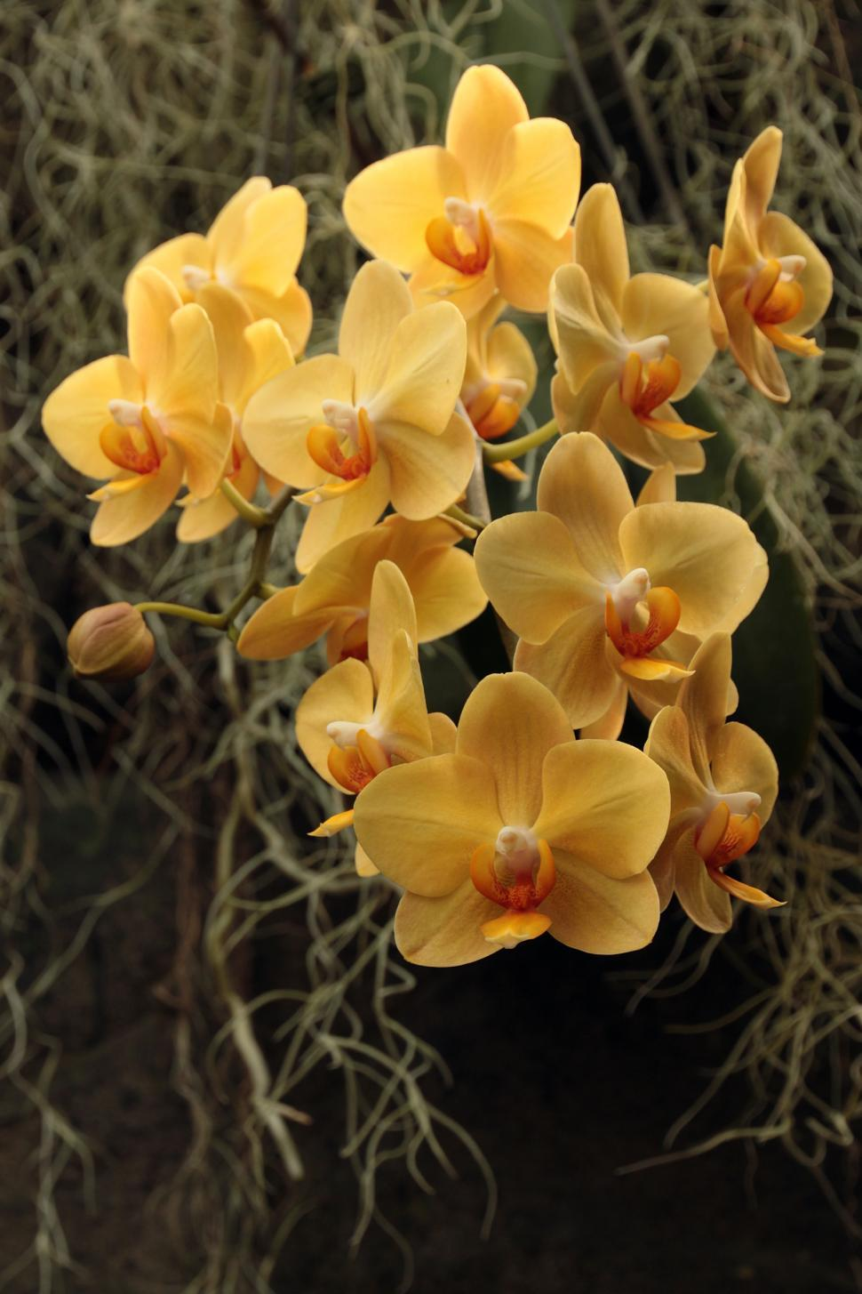 Download Free Stock HD Photo of Cluster of Orange Moth Orchids Online