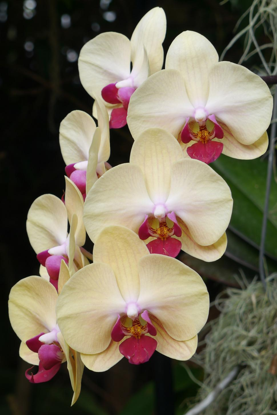 Download Free Stock HD Photo of Moth Orchids in Bloom Online