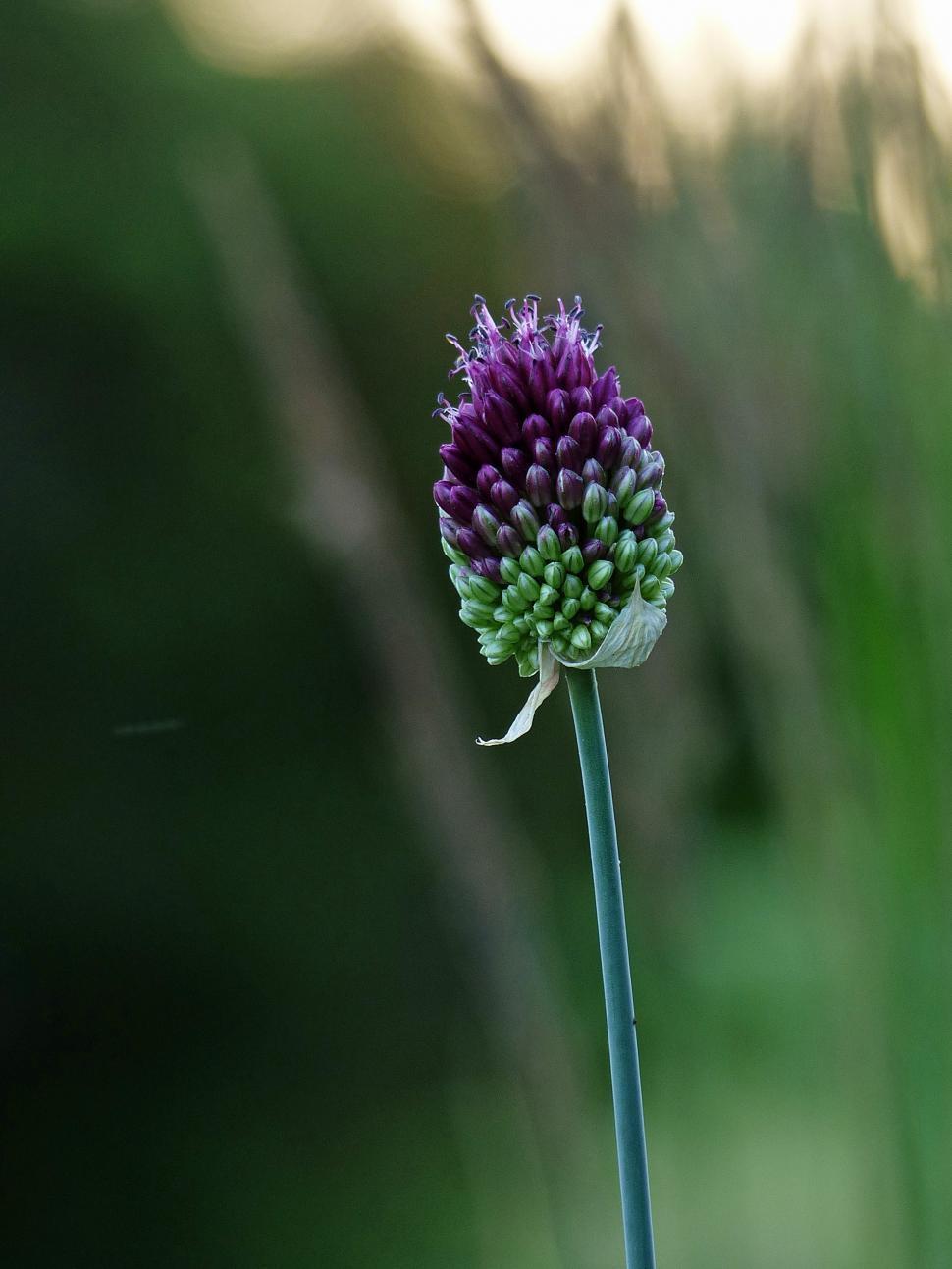 Download Free Stock HD Photo of Single Purple Allium Flower Online