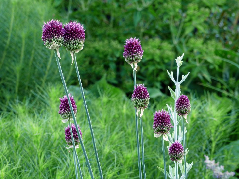 Download Free Stock Photo of Allium Flowers in Green Field