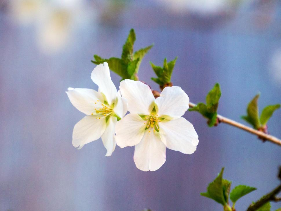 Download Free Stock Photo of Two White Crab Apple Flowers