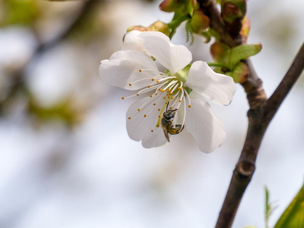 Download Free Stock Photo of Crab Apple Flowers and Bee