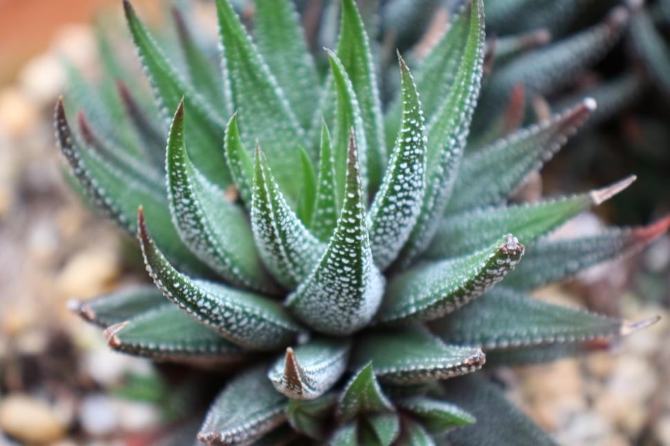 Download Free Stock HD Photo of Haworthia Attenuata Succulent Plant Online