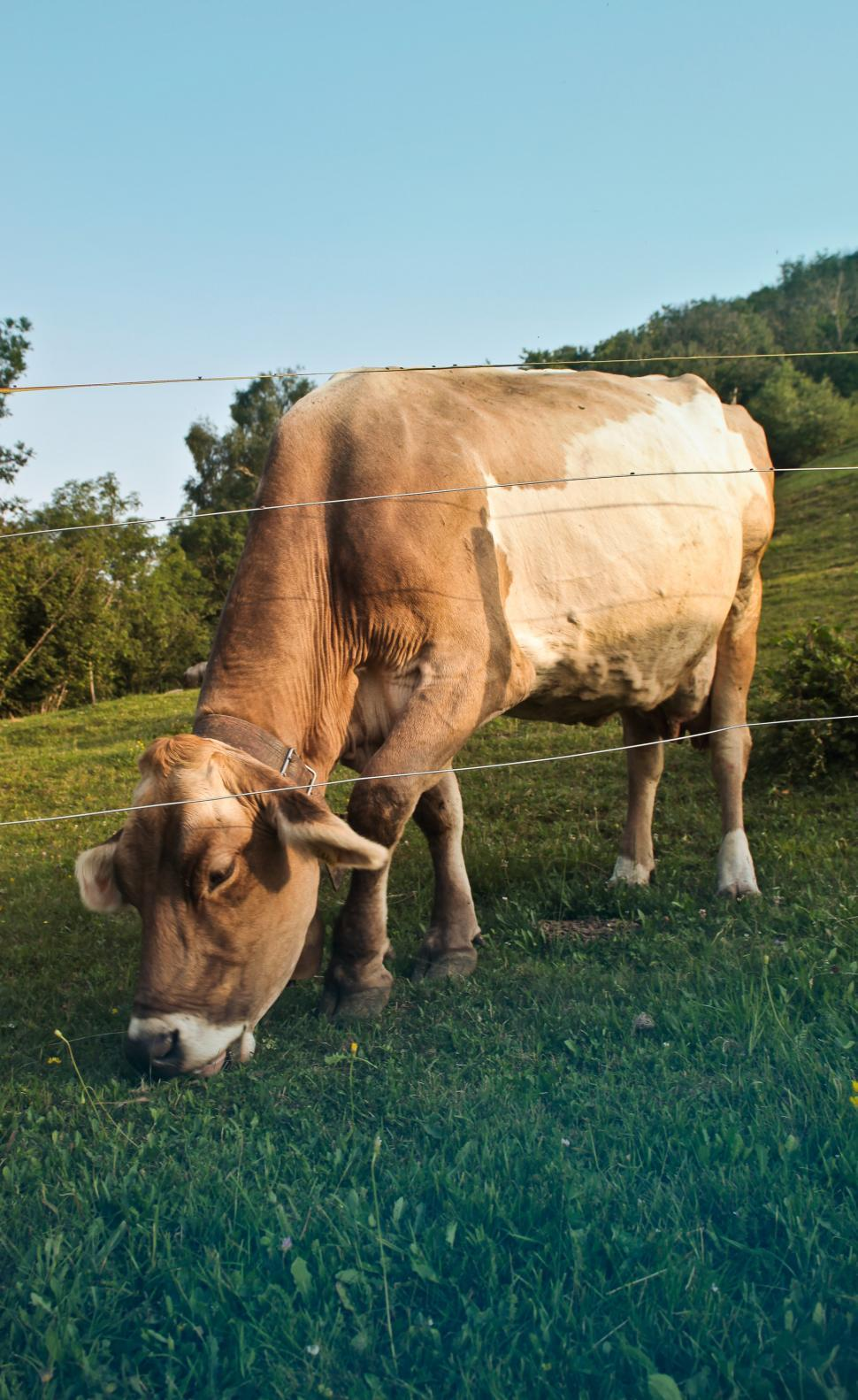 Download Free Stock HD Photo of Cow grazing on pasture Online