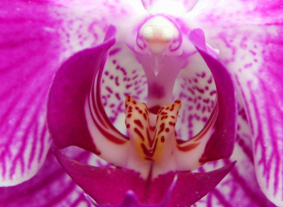 Download Free Stock Photo of Pink Moth Orchid Closeup
