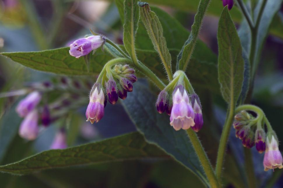 Download Free Stock Photo of Symphytum officinale Common Comfrey - Group of Blooms