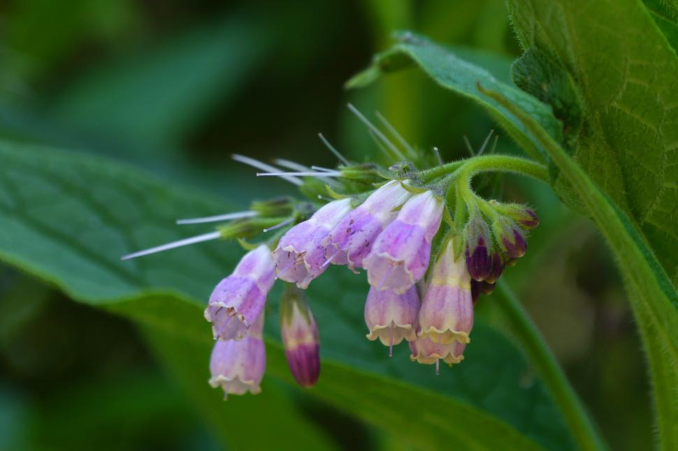 Download Free Stock Photo of Symphytum officinale Common Comfrey