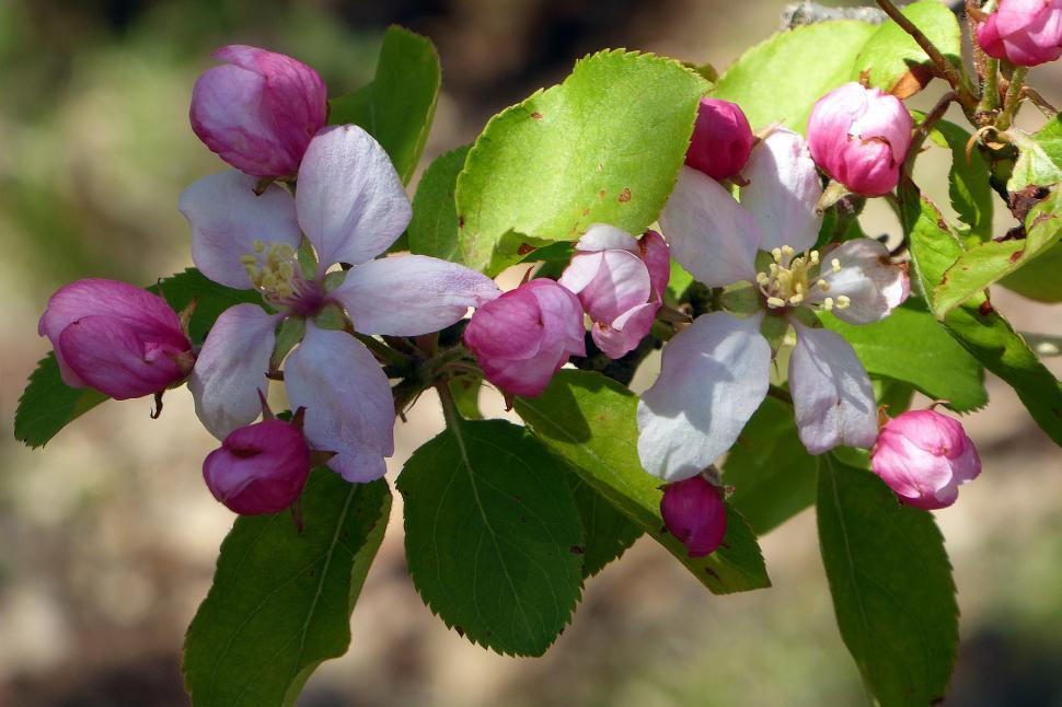Download Free Stock Photo of Crab Apple Flowers - Pink Blooms