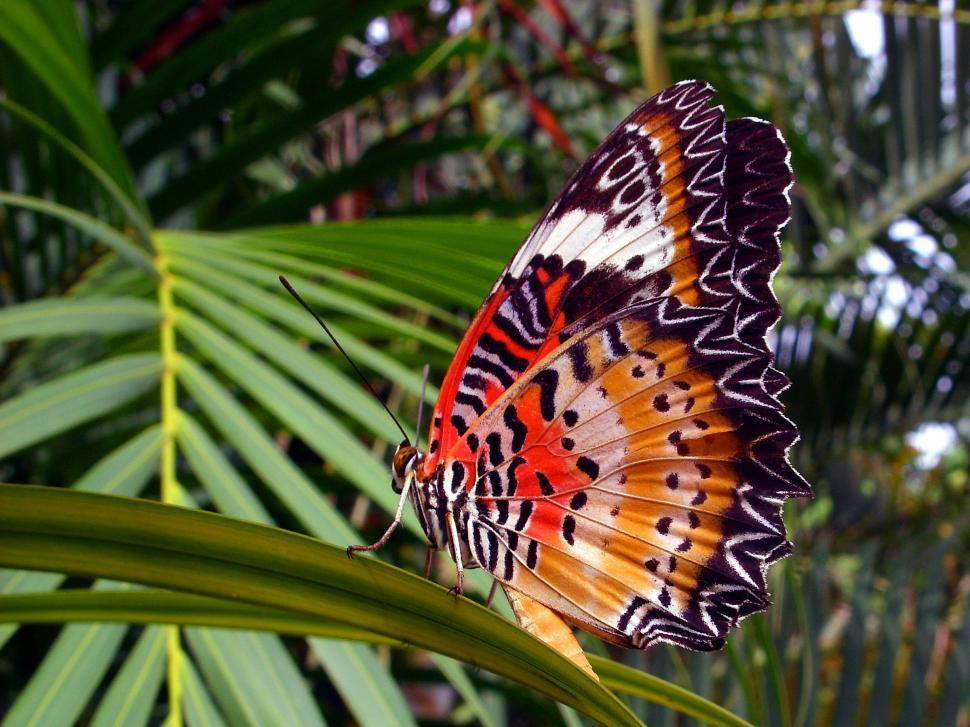 Download Free Stock Photo of Orange Lacewing Butterfly