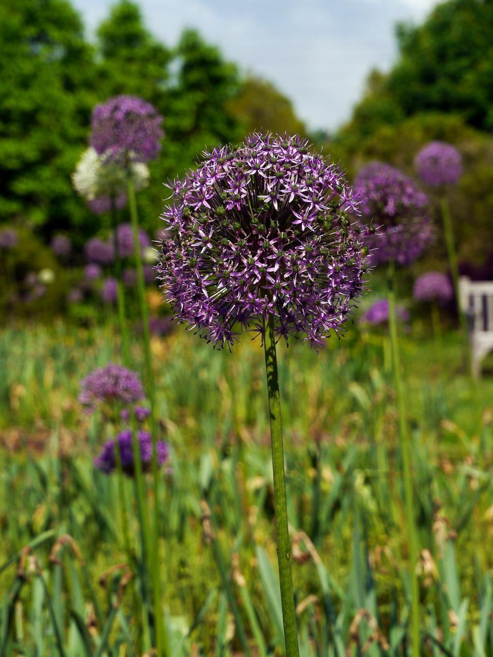 Download Free Stock Photo of Purple Allium Flowers