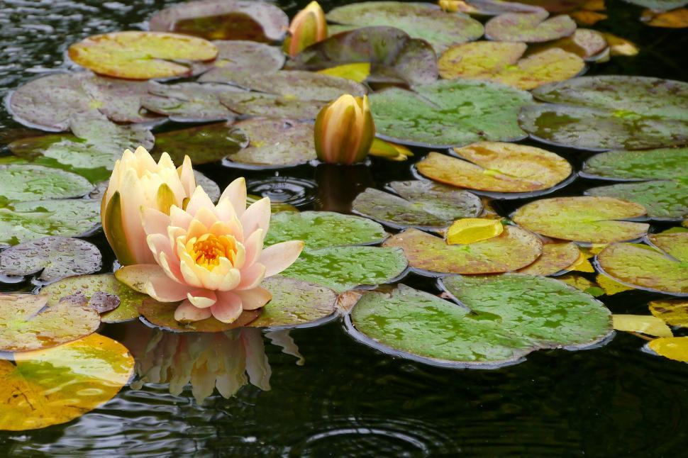 Download Free Stock Photo of Water Lily Flowers and Lily Pads
