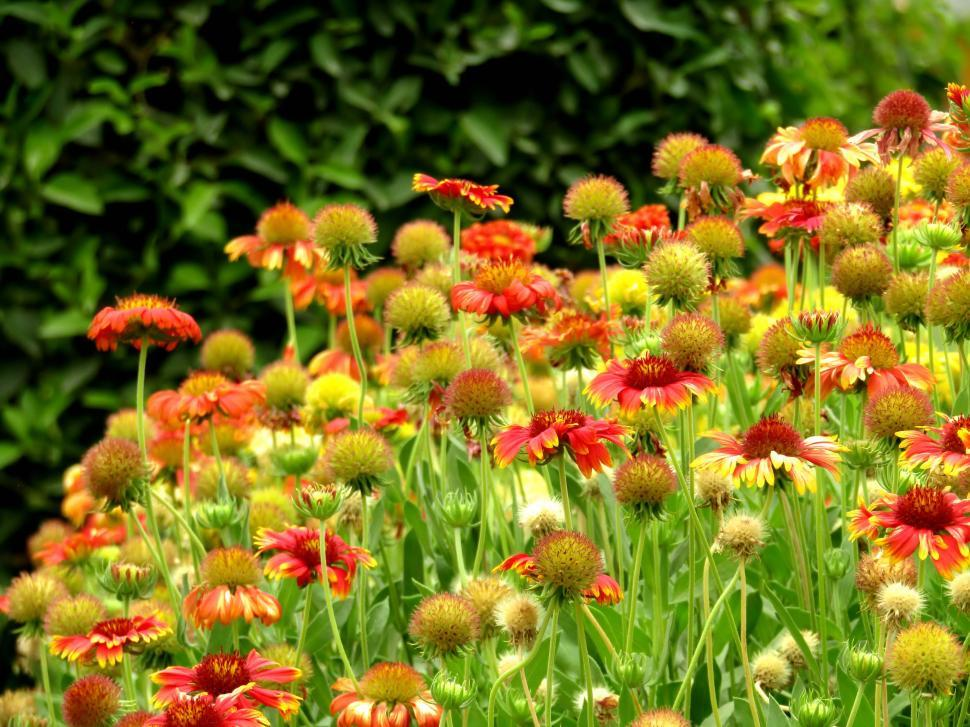 Download Free Stock Photo of Field of Evergreen colorful small flowers