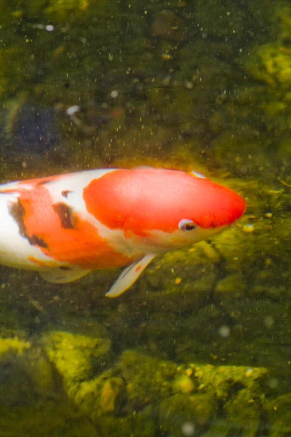 Download Free Stock HD Photo of Koi Fish Online